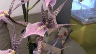 New Orchids. Miltassia & Tolumnia From The Orchid Show.