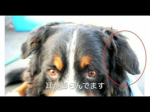 Dog Ear Hematoma