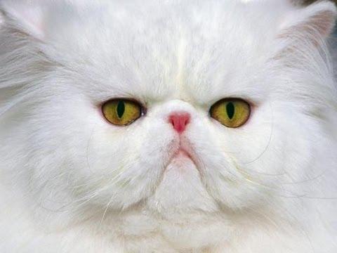 Cute Persian Cats White Cute Persian Cat Sparta Gato