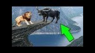 LİON vs BUFFALO ►► Real Fight   Tiger Caracal Leopard Jaguar Crocodile Hyena Snake Mongoose