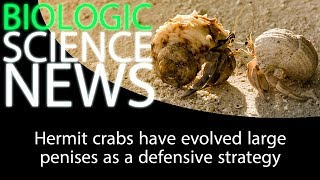 Science News - Hermit crabs have evolved large penises as a defensive strategy