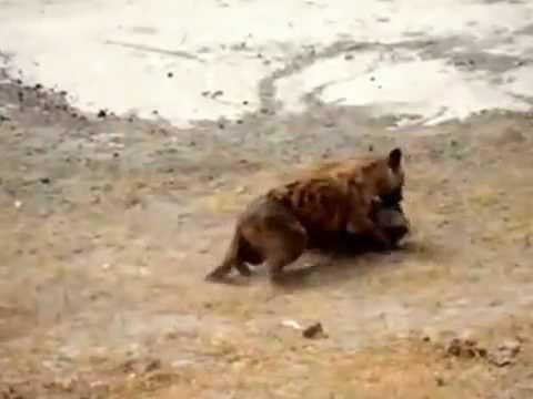 Anjing vs Babi