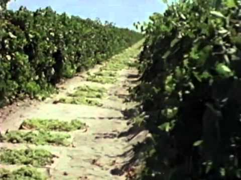 Video: Raisin Growing and Harvesting - How It Works