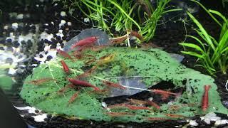 Shrimp RC Tank DIY