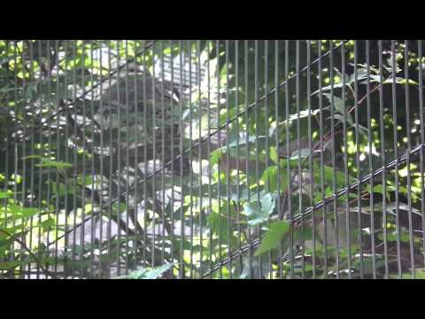 東山動植物園♪~ワライカワセミ~