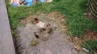 Nhạc Thiếu Nhi - Đàn gà con