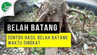 CONTOH HASIL BELAH BATANG BONSAI JENIS FICUS WAKTU SINGKAT