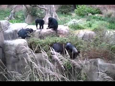 Primates attack raccoon in St. Louis zoo enclosure