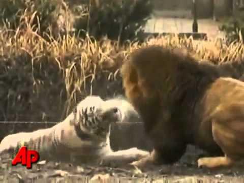 النمر الابيض مقابل الأسد الأفريقي في إيفرلاند thumbnail