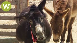 Smart Donkeys - Formerly an indispensable working animal (animal documentary in HD)
