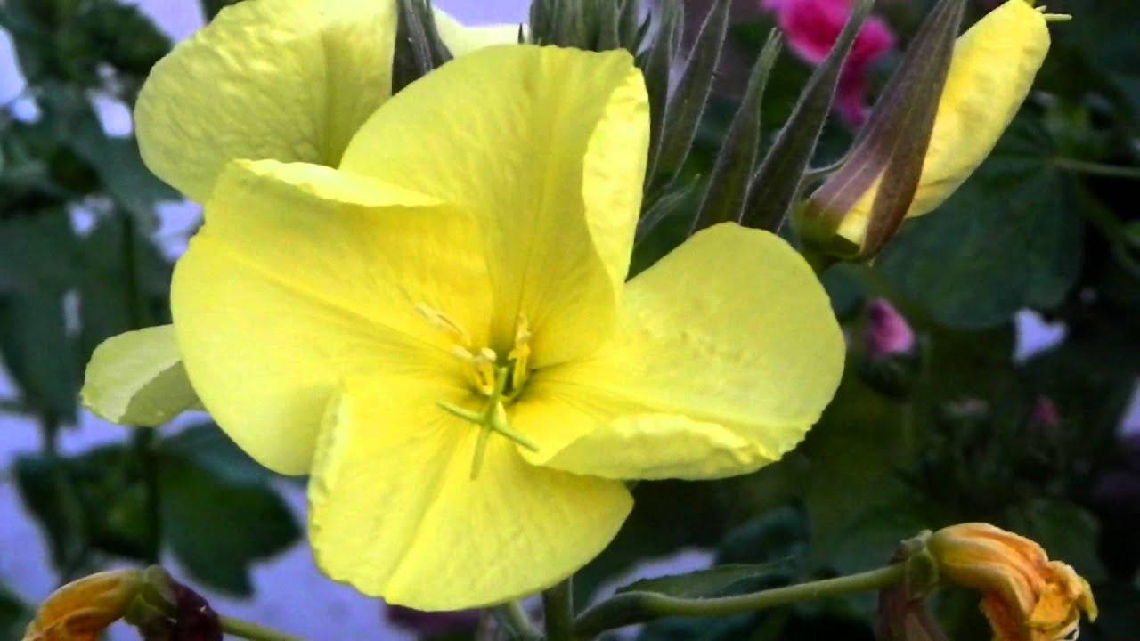 Цветы ночная красавица желтая 160