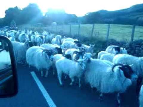 Counting sheep on the Strathblane road