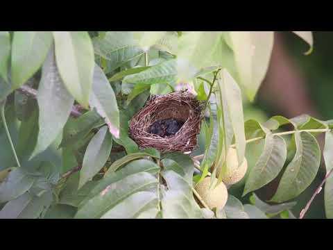 Bulbul Bird Motherhood