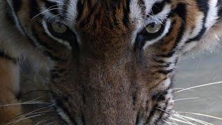 Lost in Tiger Jungle - SAFARI MALAYSIA
