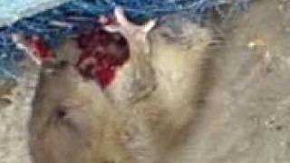 la rata come tripas