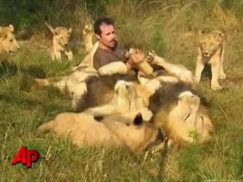 African Lions Accept Man As One Of Their Own video
