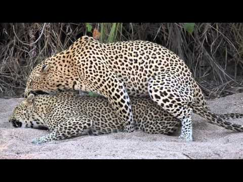 Sabi Sabi Sept10 Leopards mating