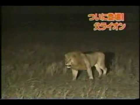 Male Lion vs ENTIRE Hyena Clan!