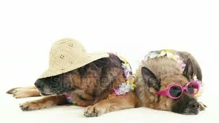 Pets, Animals And Behavior, Two Funny Purebred Alsatian Dogs With Hat And Sunglasses