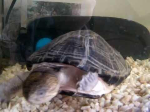 Pelusios castaneus boubat tortue d 39 eau douce vs poisson for Aquarium tortue aquatique