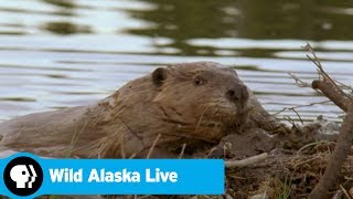 WILD ALASKA LIVE | Exploring a Beaver Dam | PBS
