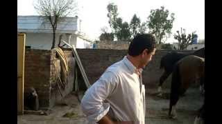 Horses in Bewal, Gujarkhan