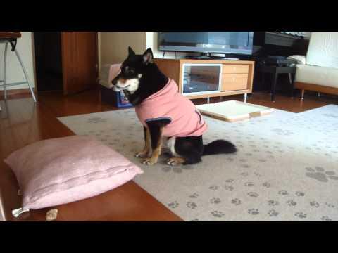 【黒柴そらのブログ】独りごとを言っている柴犬