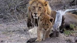 Lion cubs playing in South Africa