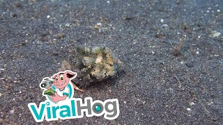 Crab Carrying Jellyfish for Camouflage || ViralHog