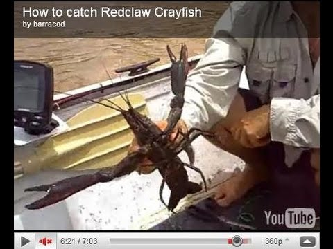 How to catch Redclaw Crayfish 1