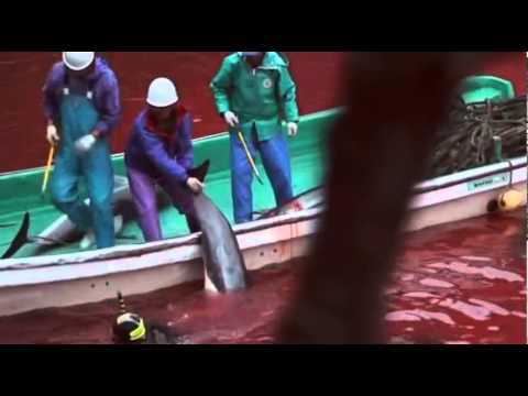 Japanese Dolphine Killing.flv video