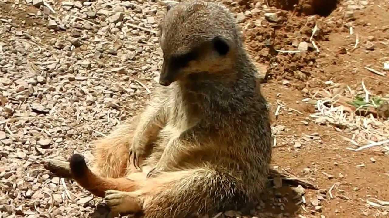 Funny meerkat pictures - photo#4