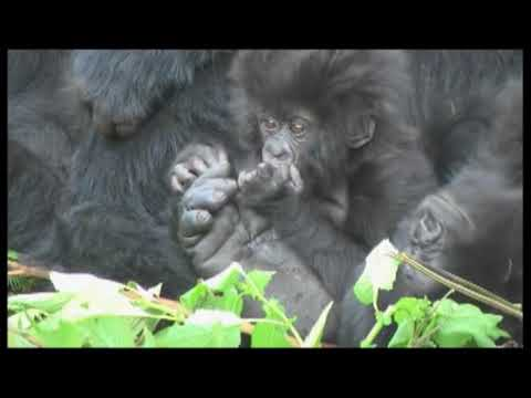 Gorillas mating footage Rwanda - World Primate Safaris