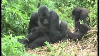 Chimpanzee Mating CHIMPANZEE, Breeding Live Video Part 01 ...