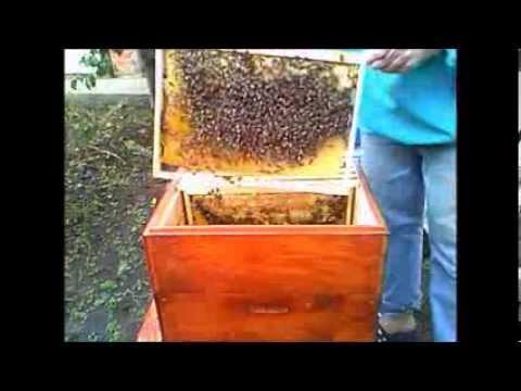 Как сажать пчел в новый улей 1