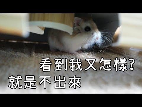 倉鼠逃走了?! 不肯回家又趕時間出門該怎辦? 解決方法及導緻逃走的成因