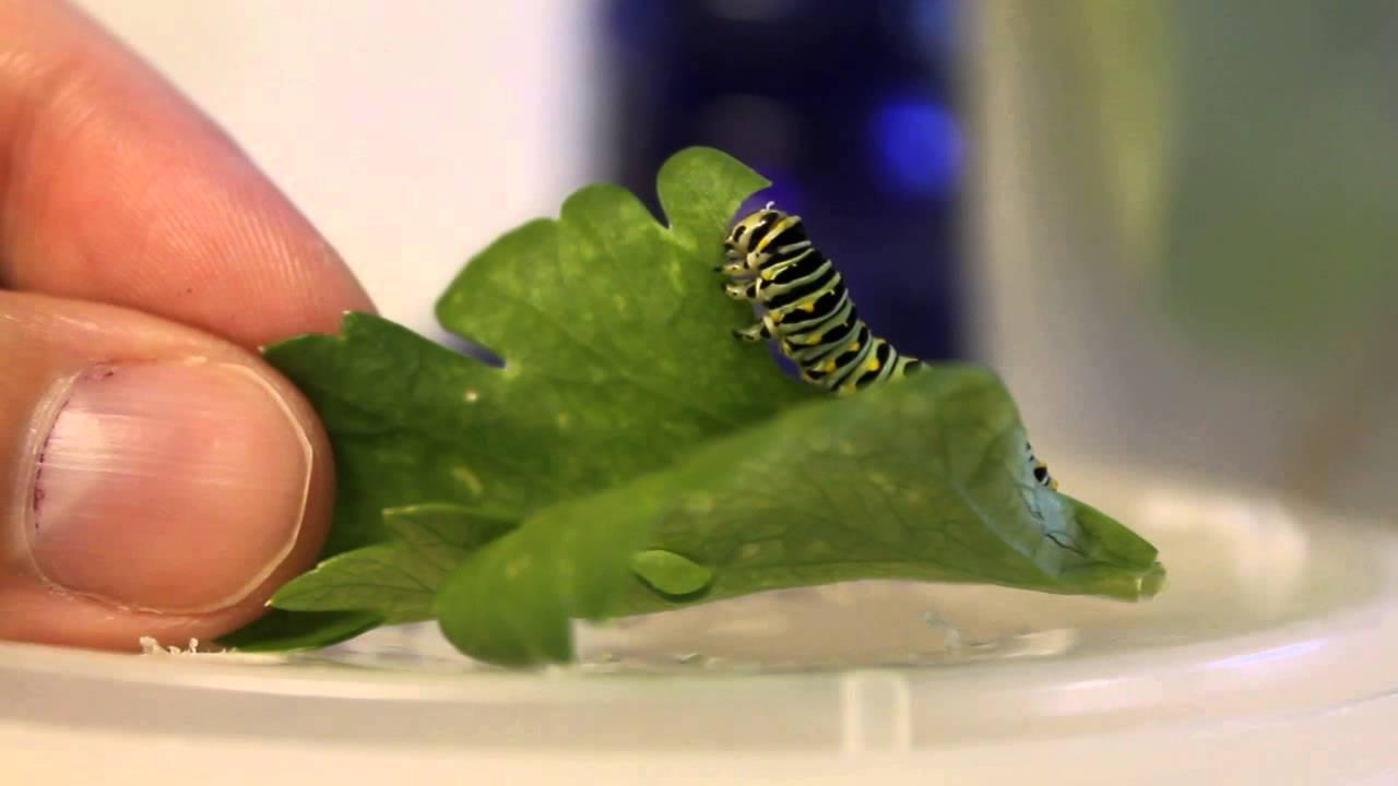 Swallowtail caterpillar eating