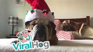 Christmas Hat Wearing Pup || ViralHog