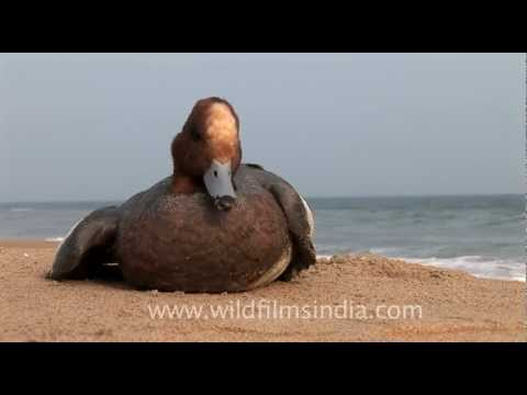 Bay of Bengal beach in Orissa, with stranded duck on the sand