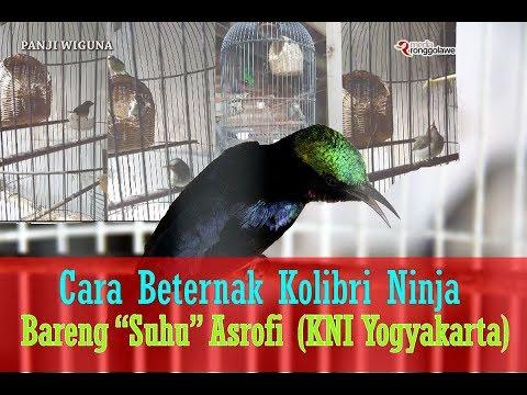 HOBI BURUNG - Cara Ternak Burung Kolibri Memakai Kandang Kapsul ( Lovebird ) Bareng Asrofi Bantul