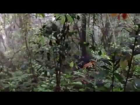 Orozugo Gorilla Family - silverback breaks tree