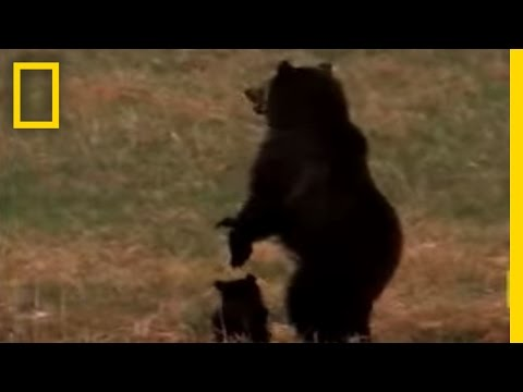 Wolves vs. Grizzly Bears Video