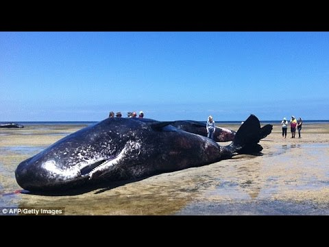 Sperm Whales Found Dead on a South Australian Beach