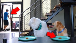 THE GOOD BOY CHALLENGE! (Will Dogs Steal the Food?)