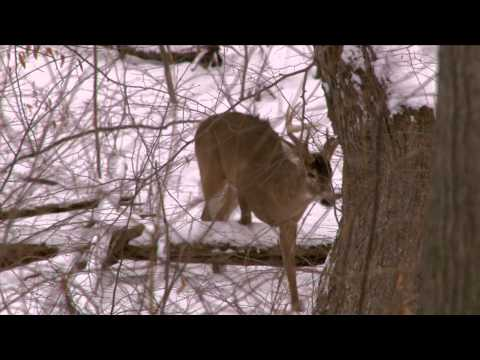 Canada in the Rough  - Post Rut Whitetails