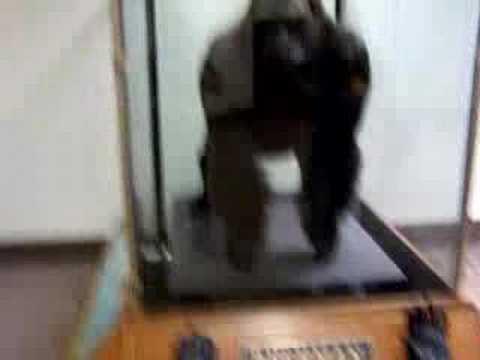 Bushman the Gorilla