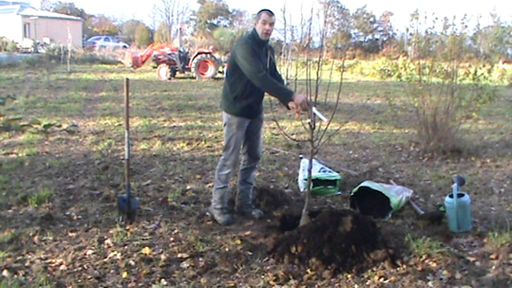Plantation d 39 un arbre fruitier en racine nu youtube for Arbre fruitier