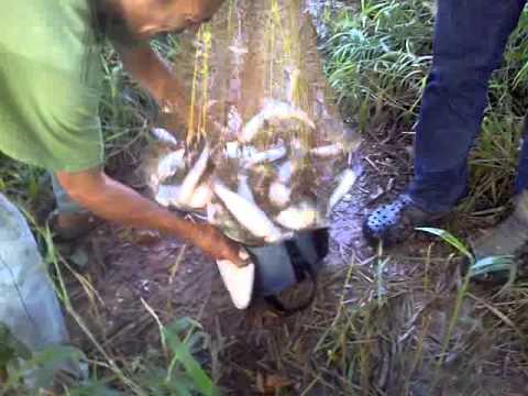 Pesca de coporos con atarraya