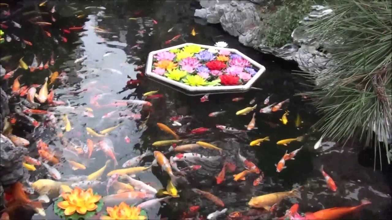 Visit to a buddhist temple koi fish pond in china youtube for Chinese koi pond