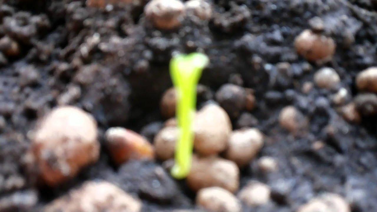 Как вырастить черешню из косточки в домашних условиях 47